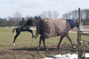 Tomintoul Star and foal