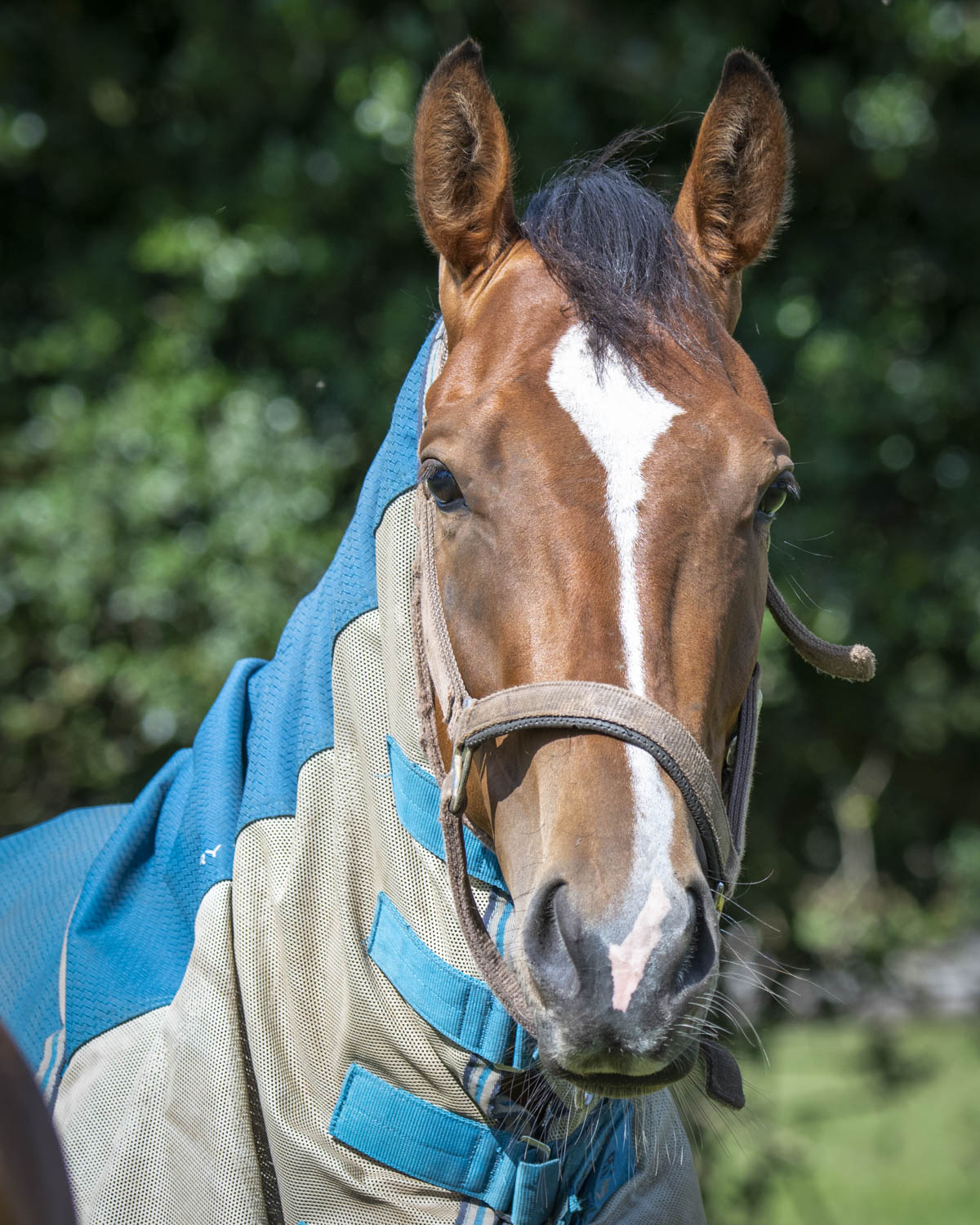 Oribi with her fly rug protection